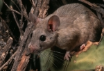 White-throated woodrat