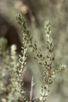 Mortonia sempervirens